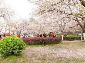 武大3月邂逅浪漫樱花