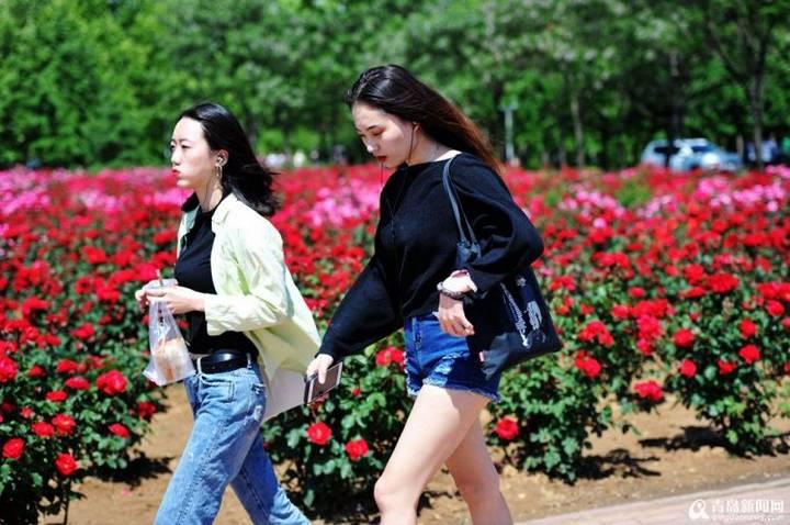 山东科技大学月季花开 校园漫步
